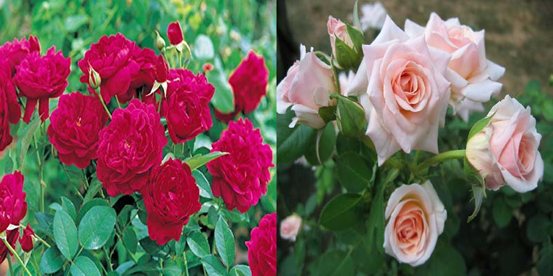 Combo Red Rose And White Live