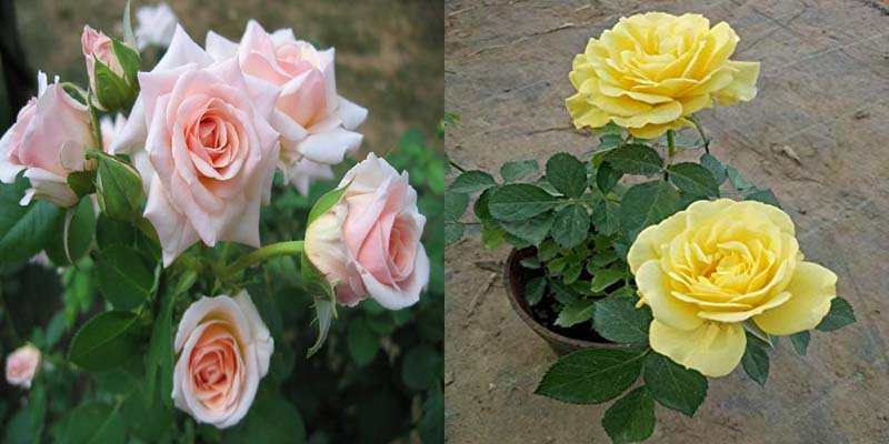 Combo White Rose And Yellow Live