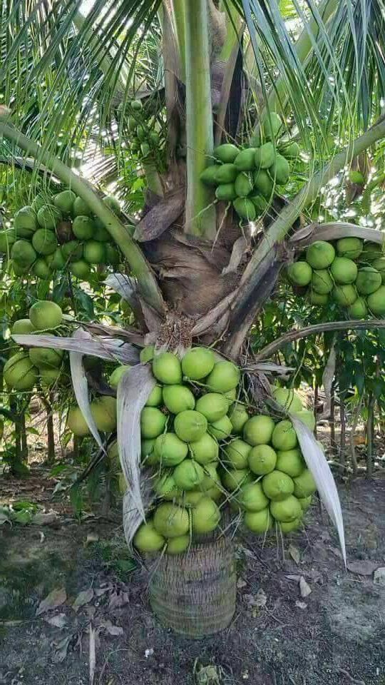 Dwarf Coconut Live Plant Narial Ka