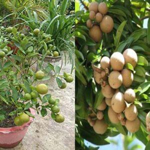 Lemon Bonsai Plants Nursery
