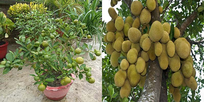 Combo Baramasi Lemon And Jack Fruit Live Plant Bonsai Plants Nursery