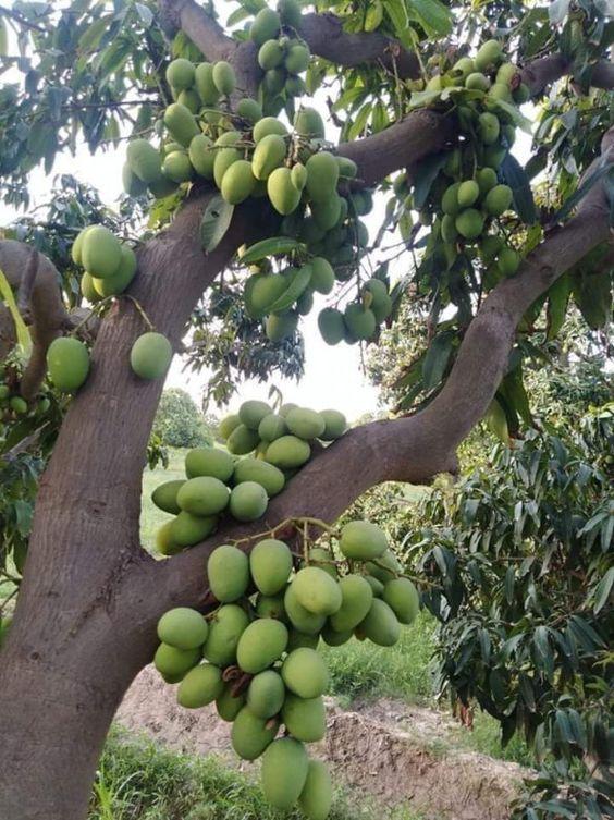 All Season Mango Plant Bonsai Plants Nursery